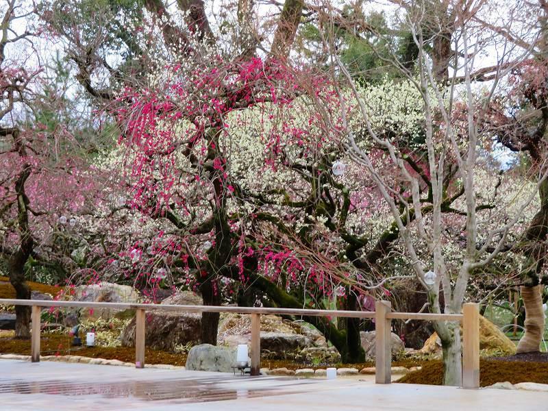 東風吹かば~「北野天満宮」の梅の花20190228_e0237645_11202285.jpg