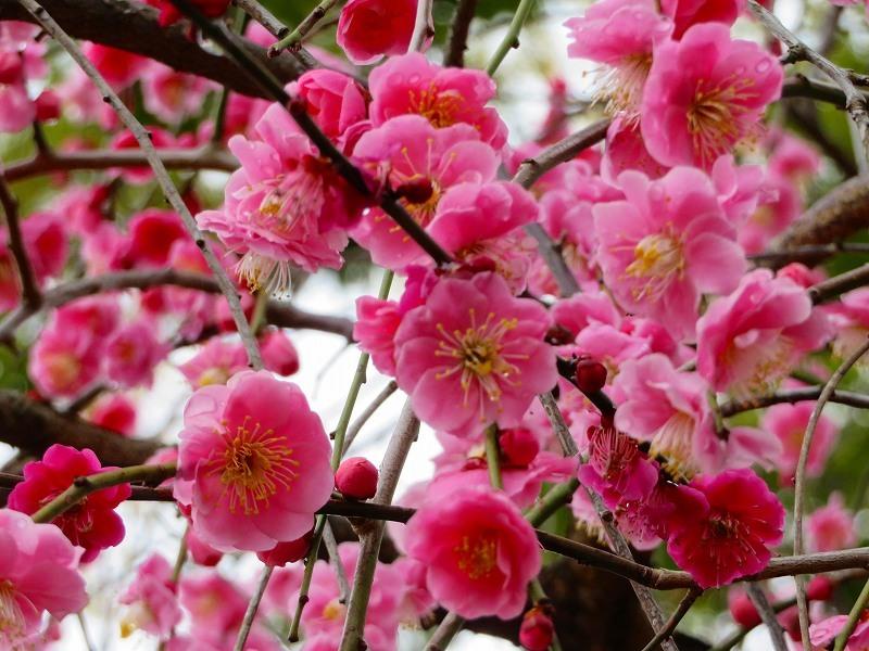 東風吹かば~「北野天満宮」の梅の花20190228_e0237645_11244915.jpg