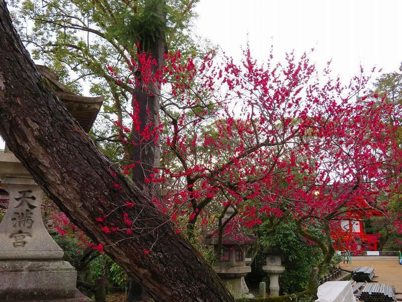 東風吹かば~「北野天満宮」の梅の花20190228_e0237645_11244949.jpg