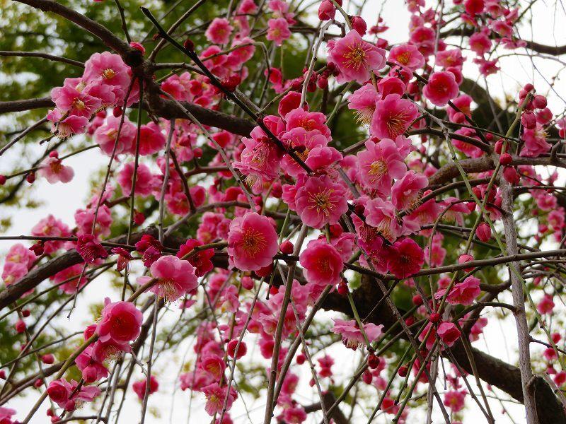 東風吹かば~「北野天満宮」の梅の花20190228_e0237645_11244975.jpg