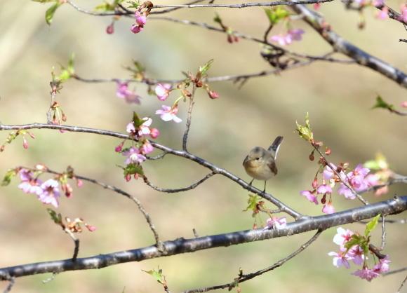 蔵出し画像!  自粛が長くなりそうで在庫が少なくなりましたので季節外れですがもう一度会いたい鳥・・・ニシオジロビタキをアップします。_a0362854_15303619.jpg