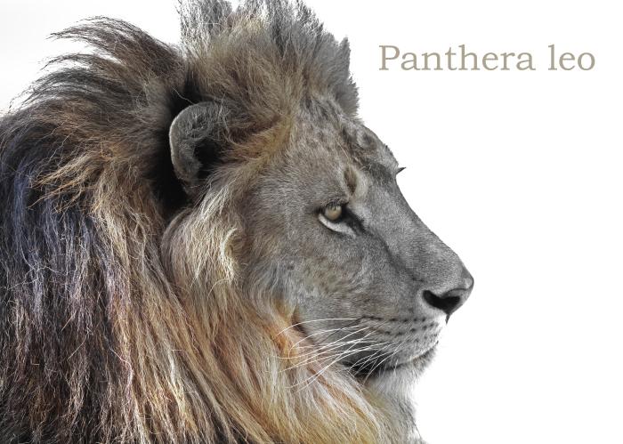 ライオン:Lion_b0249597_08111602.jpg