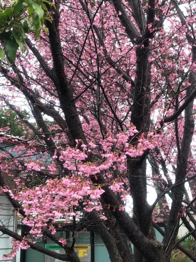 梅、桜_f0101201_23022529.jpg