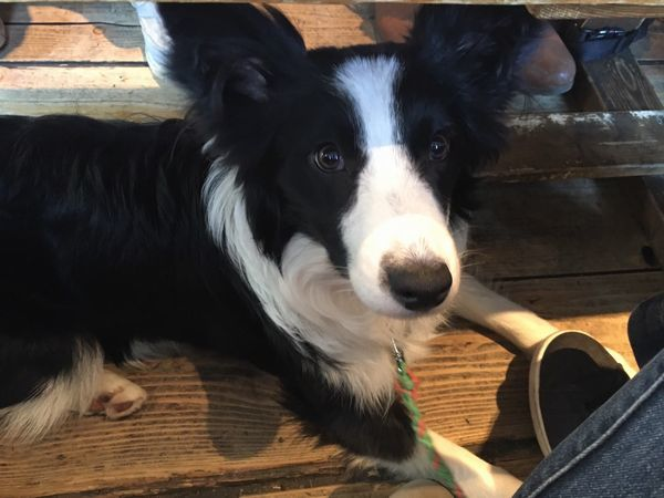Image result for 犬 border collie 美しい