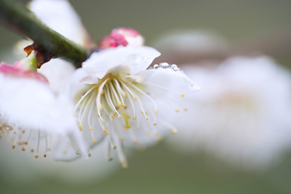 梅の花_f0324026_15005924.jpg