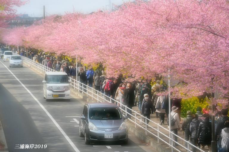 海岸 2021 まつり 三浦 桜