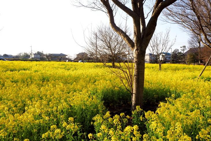 お雛様🎎へ菜の花を_e0305388_12535187.jpg