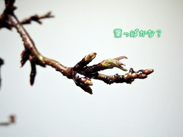 開花予想_c0062832_19590643.jpg