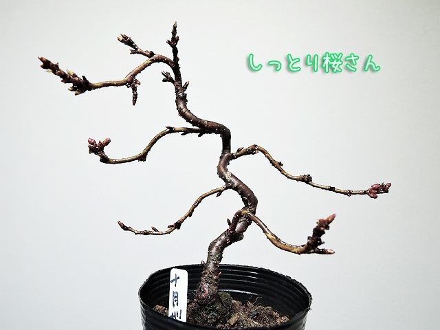 開花予想_c0062832_19590699.jpg
