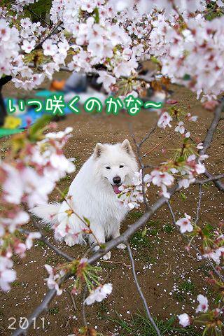 開花予想_c0062832_19591452.jpg