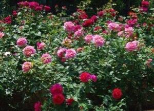 バラの名前にちなんだ記事_a0094959_14562866.jpg