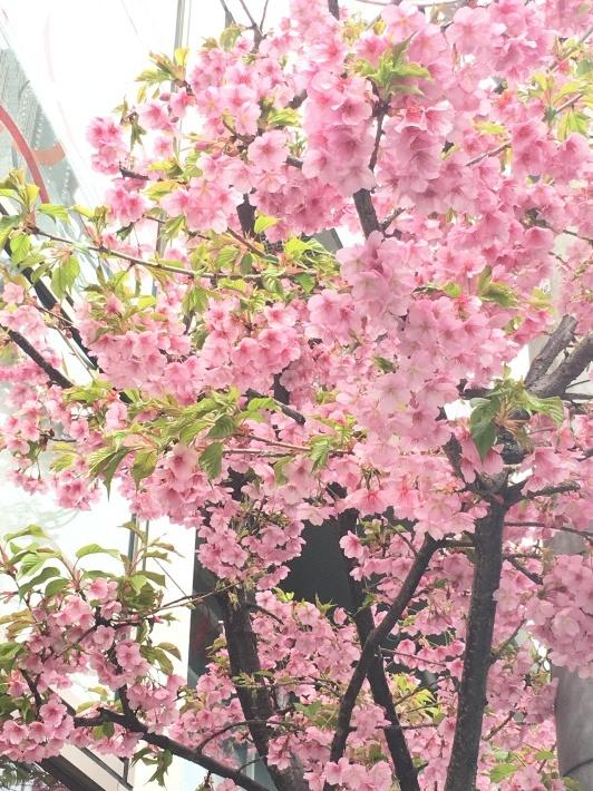 表参道の河津桜と、春の新作入荷スケジュール。_c0221922_13115271.jpg