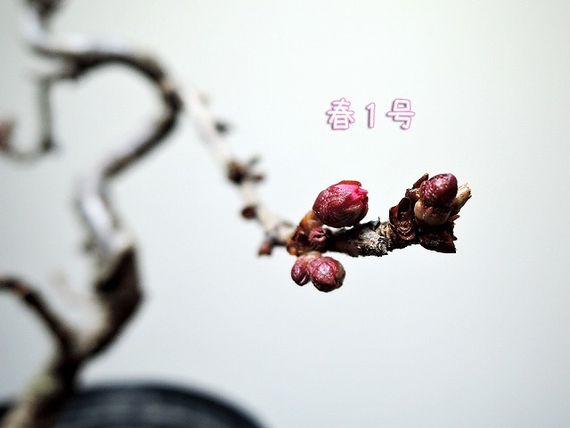 春1号_c0062832_16525051.jpg