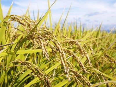 砂田米 熊本県菊池市七城町『砂田のこだわりれんげ米』令和2年もれんげを有機肥料にする土つくりです_a0254656_17201016.jpg