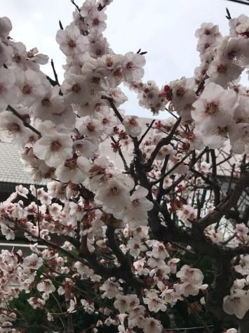 梅の木_a0252761_16550405.jpg