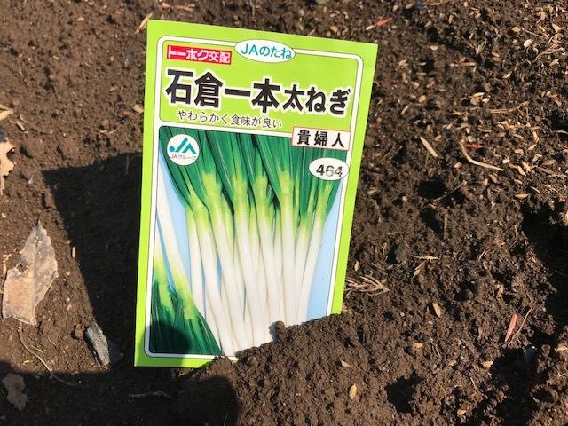 春キャベツ収穫&春大根種まき&ネギ発芽3・5_c0014967_07091327.jpg