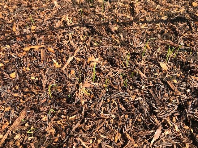 春キャベツ収穫&春大根種まき&ネギ発芽3・5_c0014967_07093861.jpg