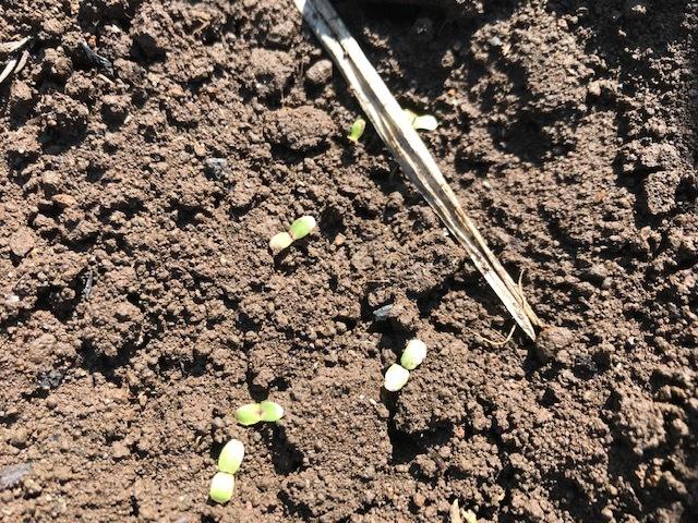 春キャベツ収穫&春大根種まき&ネギ発芽3・5_c0014967_07100613.jpg