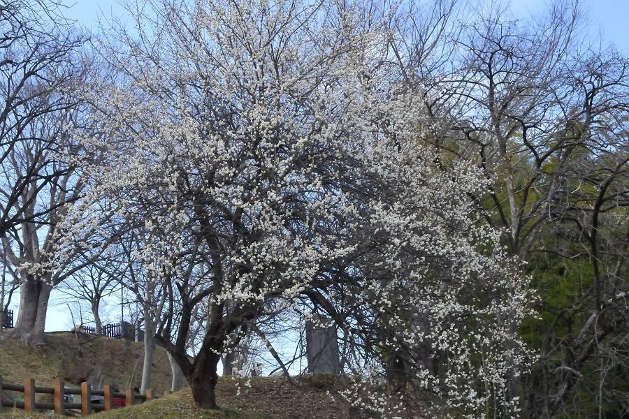梅の花_b0223668_20534188.jpg