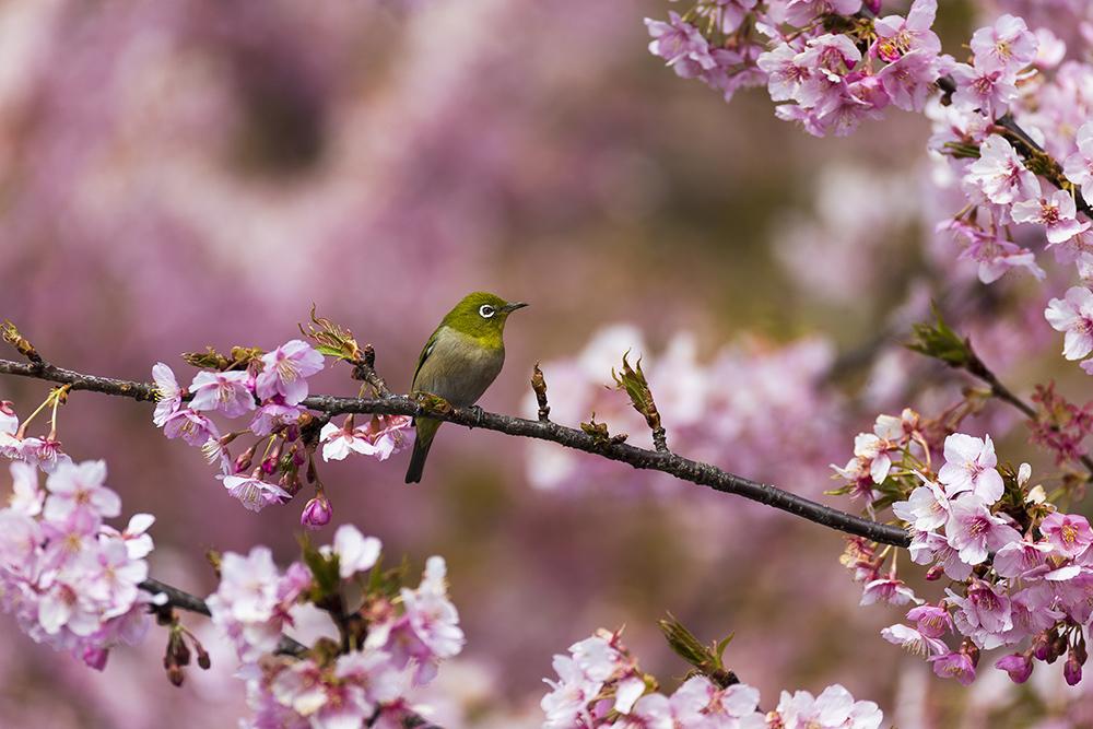 彼岸桜とメジロ_a0261169_10185982.jpg