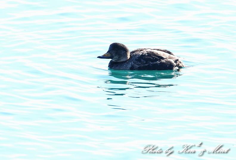 北の大地 遠征2日目 漁港巡りで会えた鳥さん♪_e0218518_22452090.jpg