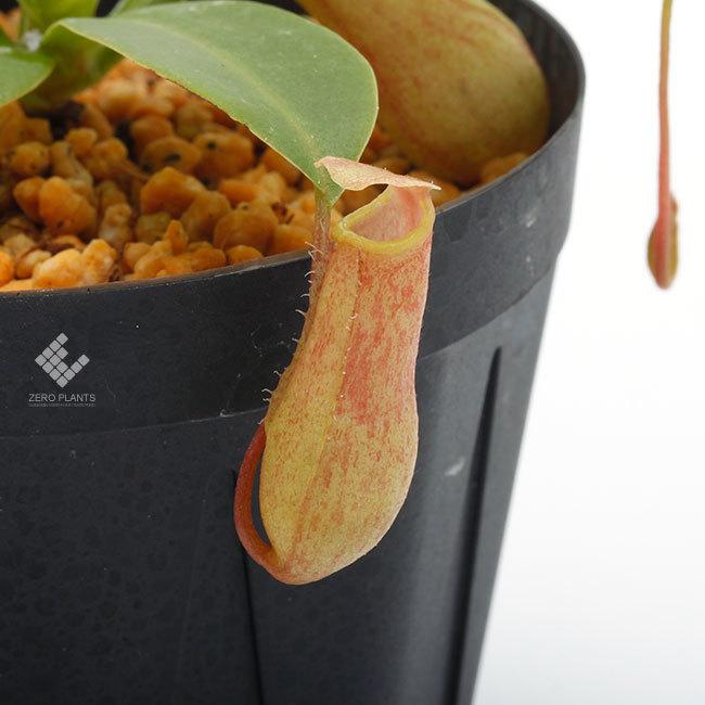 New arrival plants | 新掲載植物 スリランカの老舗ネペンテス業者 Borneo Exotics  取扱開始致しました_d0376039_23235884.jpg