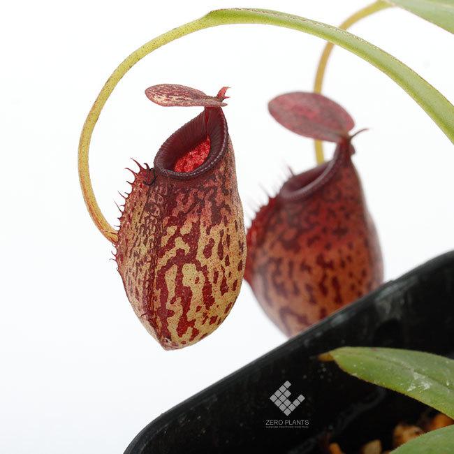New arrival plants | 新掲載植物 スリランカの老舗ネペンテス業者 Borneo Exotics  取扱開始致しました_d0376039_23300915.jpg