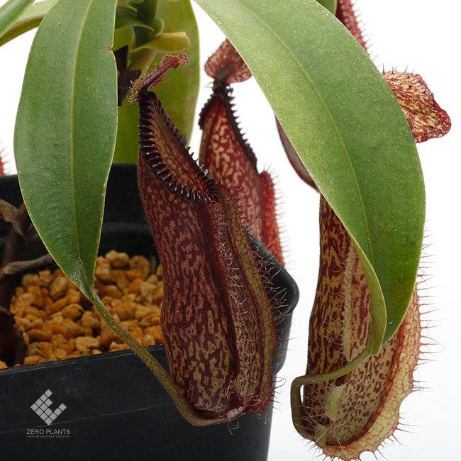 New arrival plants | 新掲載植物 スリランカの老舗ネペンテス業者 Borneo Exotics  取扱開始致しました_d0376039_23424188.jpg