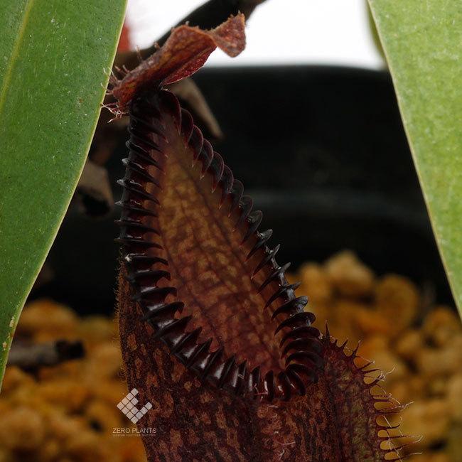New arrival plants | 新掲載植物 スリランカの老舗ネペンテス業者 Borneo Exotics  取扱開始致しました_d0376039_23451076.jpg