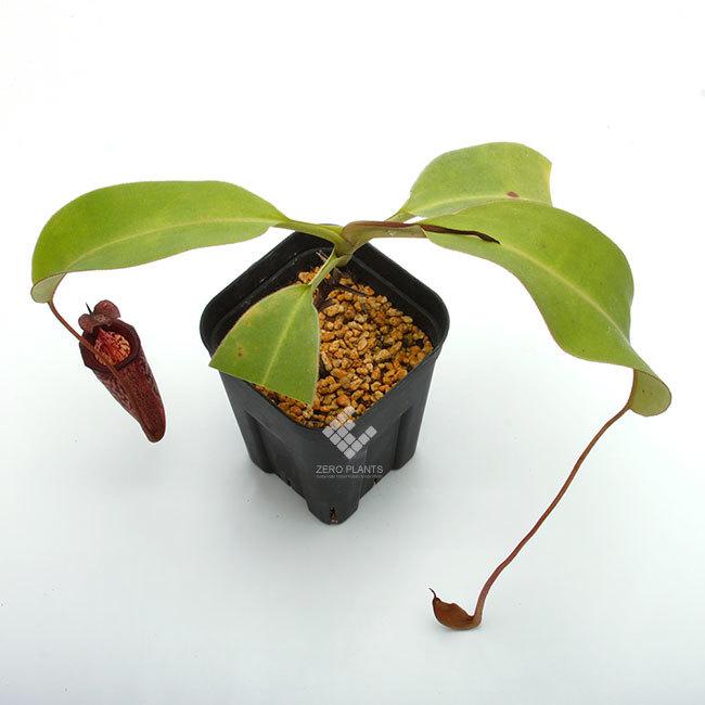 New arrival plants | 新掲載植物 スリランカの老舗ネペンテス業者 Borneo Exotics  取扱開始致しました_d0376039_23522274.jpg