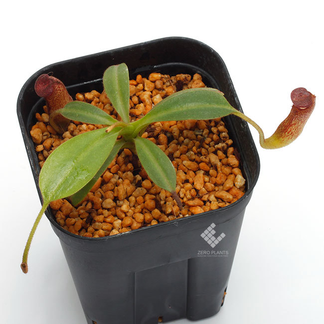 New arrival plants | 新掲載植物 スリランカの老舗ネペンテス業者 Borneo Exotics  取扱開始致しました_d0376039_00023080.jpg