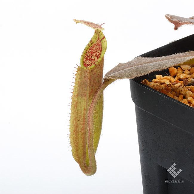 New arrival plants | 新掲載植物 スリランカの老舗ネペンテス業者 Borneo Exotics  取扱開始致しました_d0376039_00033969.jpg