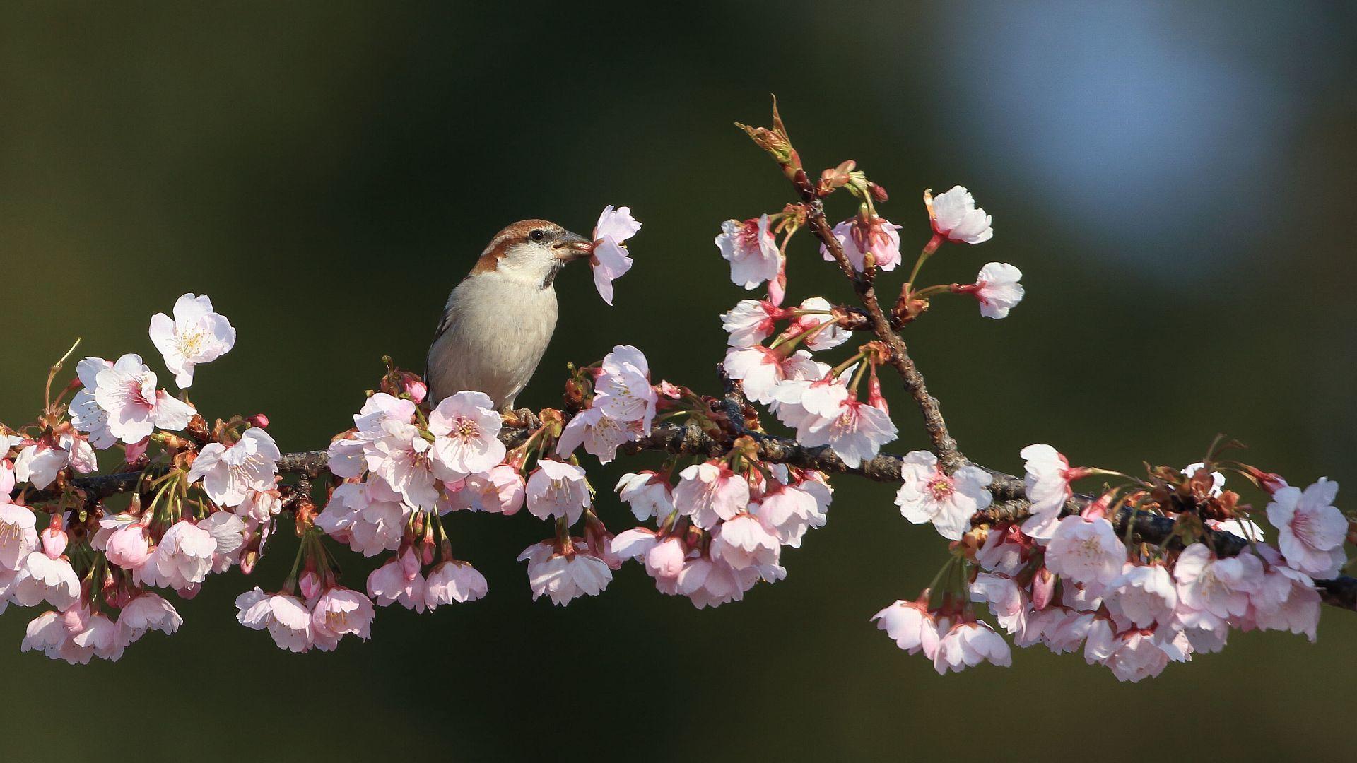 今年はどうかな?ニュウナイスズメと桜_f0105570_21484964.jpg
