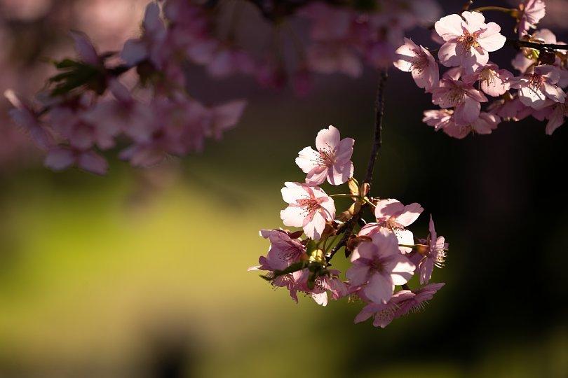 満開の河津桜を愛でる光蜥蜴たち_d0353489_20354297.jpg