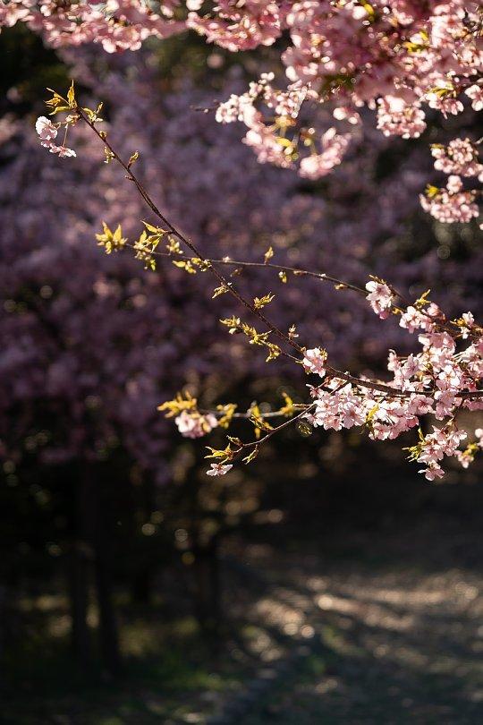 満開の河津桜を愛でる光蜥蜴たち_d0353489_20394767.jpg