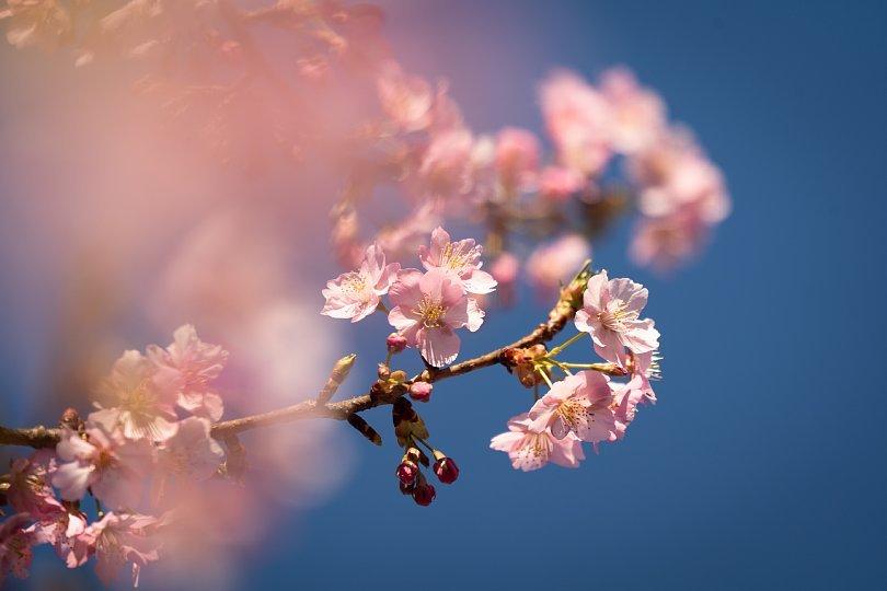 満開の河津桜を愛でる光蜥蜴たち_d0353489_20432387.jpg