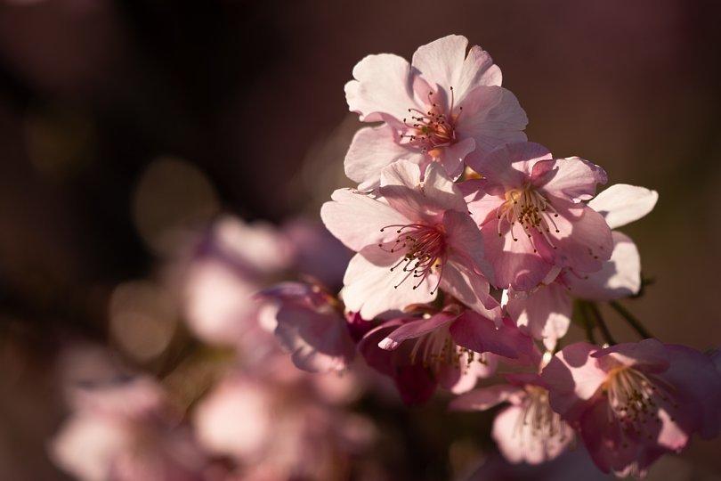 満開の河津桜を愛でる光蜥蜴たち_d0353489_20442979.jpg