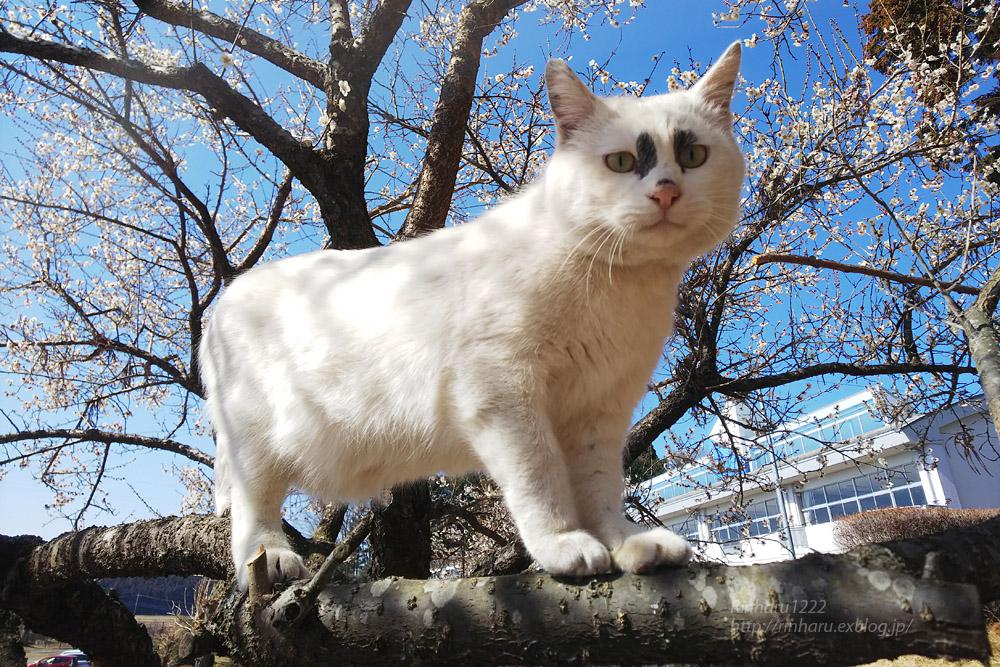 2019.3.9 観梅会☆梅猫モデルは、くぅちゃん♪_f0250322_20334886.jpg