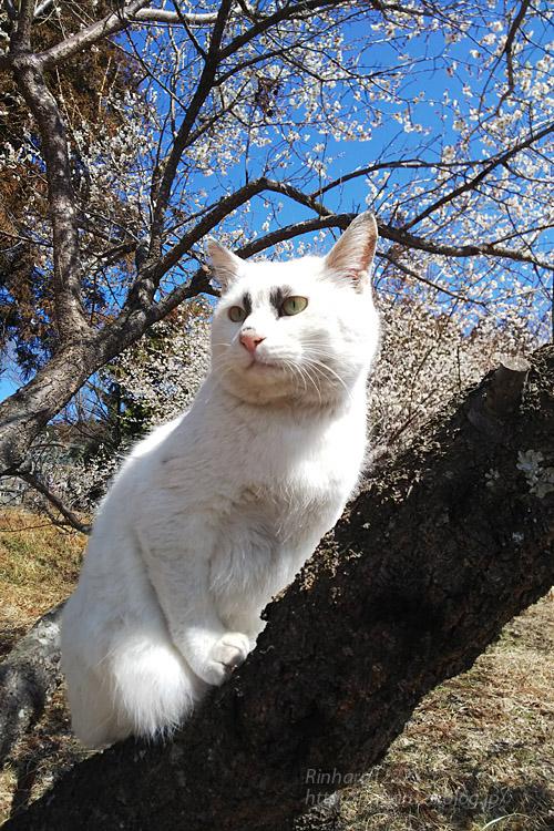 2019.3.9 観梅会☆梅猫モデルは、くぅちゃん♪_f0250322_2034714.jpg