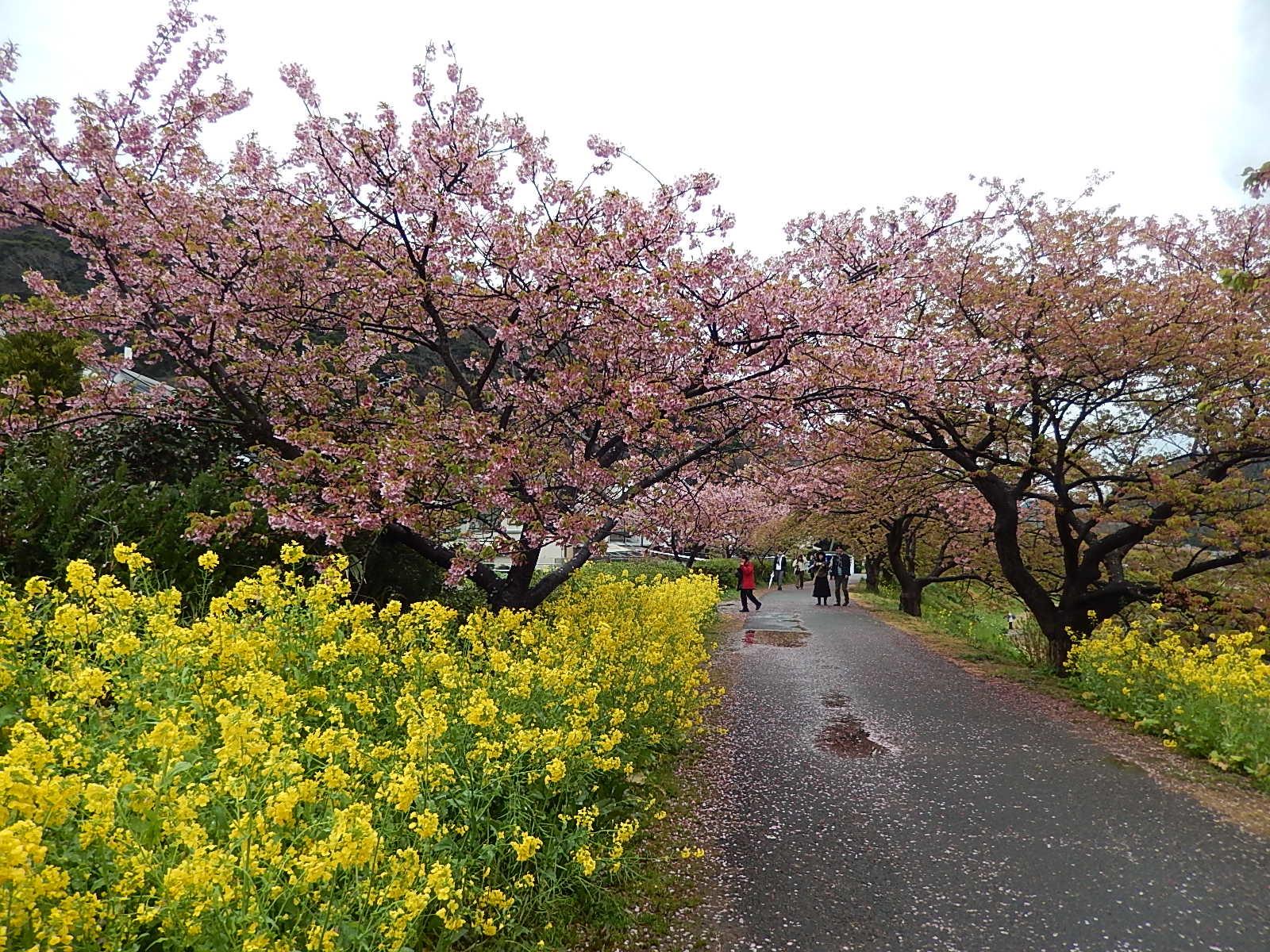 下賀茂温泉の河津桜_d0000324_12024724.jpg