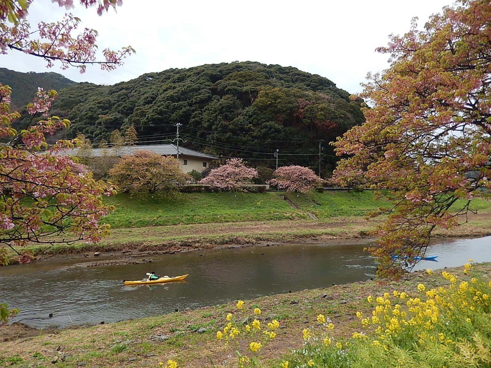 下賀茂温泉の河津桜_d0000324_12030108.jpg