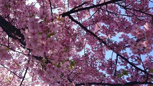 梅は咲いたぞ、サクラはもう少し_c0338136_16113096.jpg