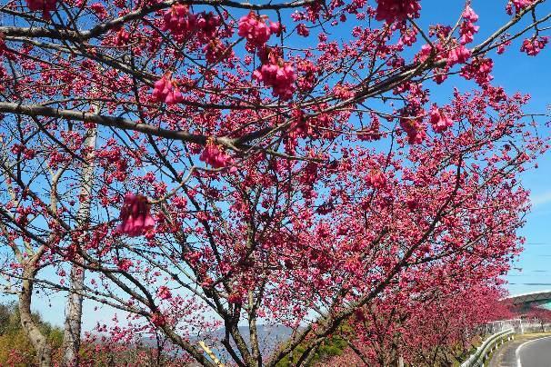 ベッセルおおち:緋寒(ひかん)桜と、湊川:河津桜_b0149340_22065940.jpg