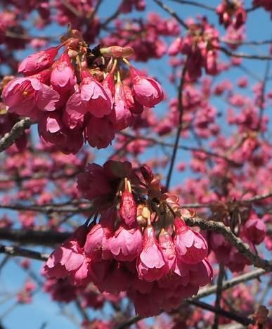 ベッセルおおち:緋寒(ひかん)桜と、湊川:河津桜_b0149340_22071075.jpg