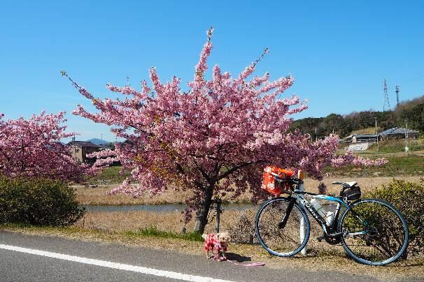 ベッセルおおち:緋寒(ひかん)桜と、湊川:河津桜_b0149340_22234445.jpg