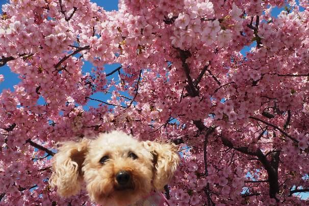 ベッセルおおち:緋寒(ひかん)桜と、湊川:河津桜_b0149340_22235505.jpg
