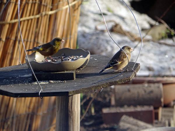 春の雪の朝の餌台。カワラヒワがやってきて・・・_a0136293_17320548.jpg