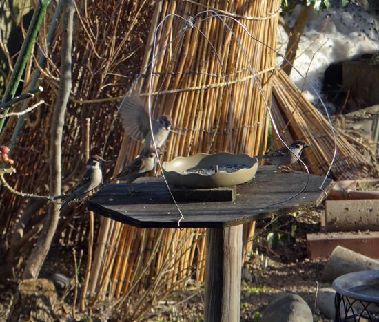 春の雪の朝の餌台。カワラヒワがやってきて・・・_a0136293_17394796.jpg