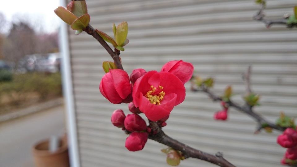 ボケ 木瓜 赤花 大型商品_e0202111_21325480.jpg