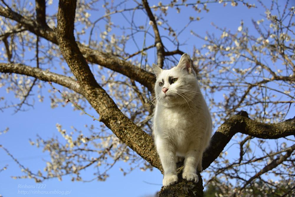2019.3.10 観梅会☆梅猫モデルは、くぅちゃん♪_f0250322_20293390.jpg